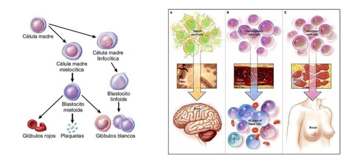 Conhecido Celulas madre II: Tipos de células madre | biotecnologiauem, ¿y  HE08
